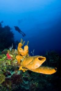 Diver and Tube Sponge