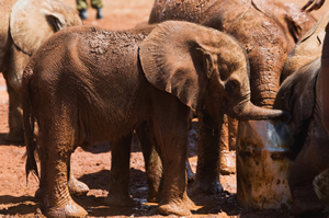 Nairobi Elephants resized