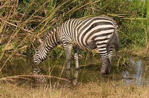Nairobi Zebra resized