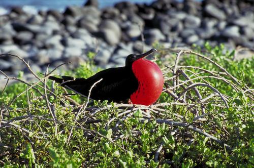 Fregat Bird - Galapagos Islands