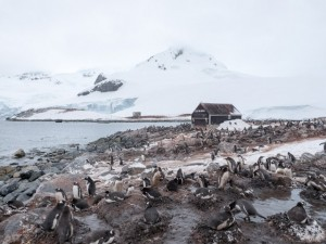 Penguin rookery at Waterboat Point. @ 2014 Ralph Grizzle