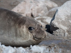 A Southern Elephant Seal. © 2014 Ralph Grizzle