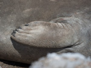 A Southern Elephant Seal's flipper. © 2014 Ralph Grizzle