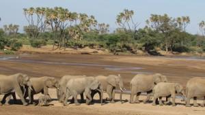Elephants at Samburu
