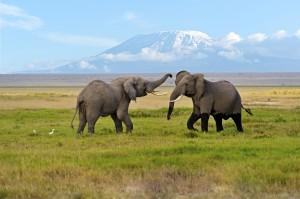 Elephants At The Amboseli National Park, Kenya