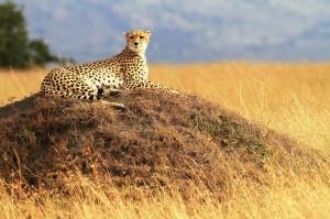 Cheetah At The Masai Mara National Reserve, Kenya