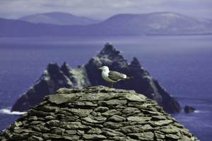 Seagull Perched On Skellig Michael Island