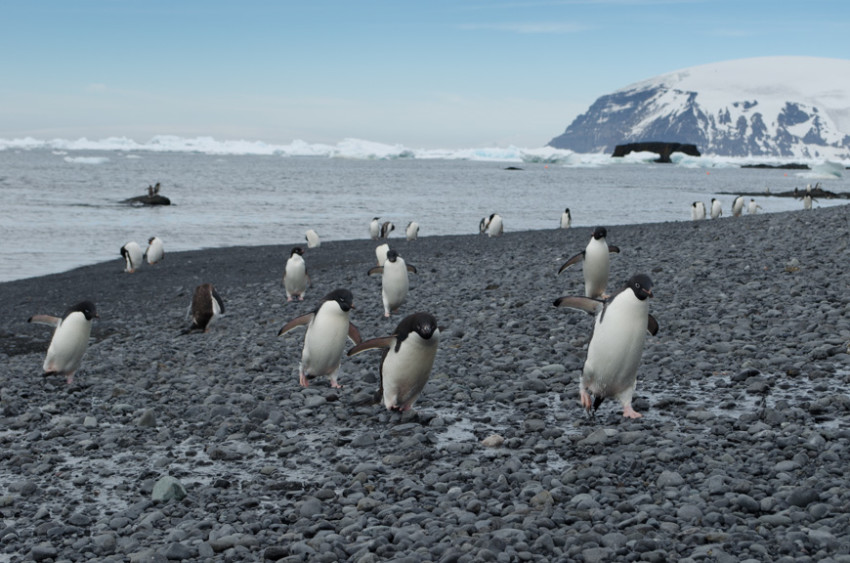 There's No Getting Around It (or Them): Penguins are everywhere in Antarctica! Photo © 2015 Aaron Saunders