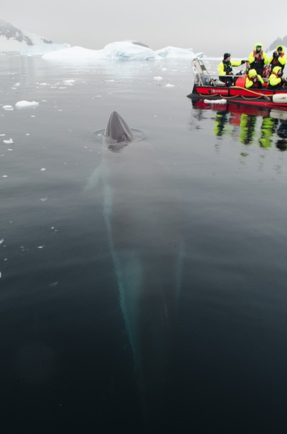 An Impossibly Fantastic Sight: a whale, visible beneath the surface of the water, comes up next to our Zodiacs in Antarctica. Photo © 2015 Aaron Saunders