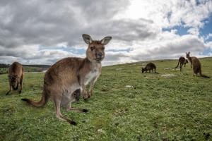 Kangaroo mother and joey