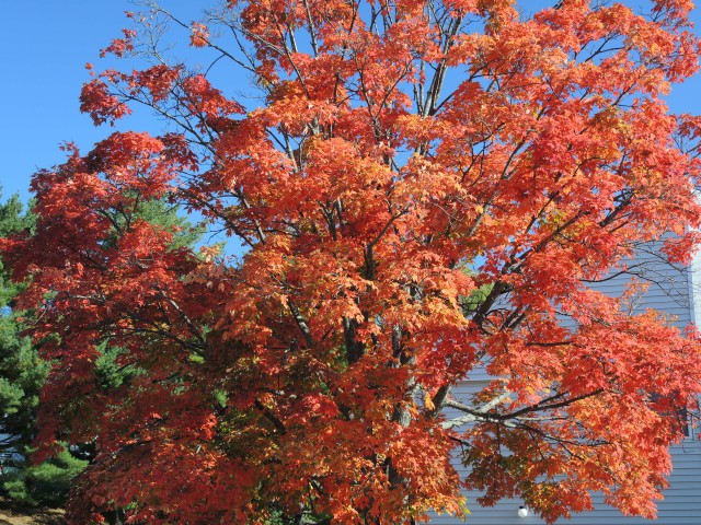 The dazzling beauty of a sugar maple at the height of autumn