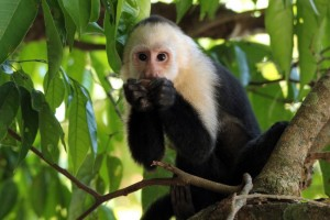 A white-faced Capuchin monkey in the Manuel Antonio Nature Park
