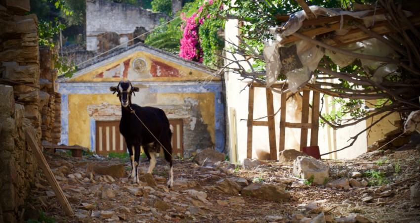 Greek goat.