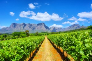 The vineyards of Cape Town