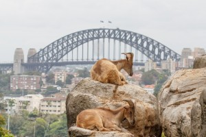 Residents of Taronga Zoo gaze out at Sydney Harbour Bridge.