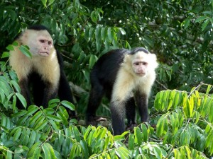 Capuchin monkeys watching visitors from the brush along the Canal