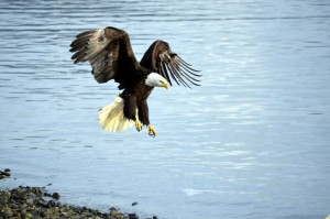 One of Sitka's natural residents, the Bald Eagle, soars above the water.