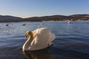 Swans on Lake Yamana-ko