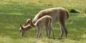 Guanacos grazing in the plains at Patagonia