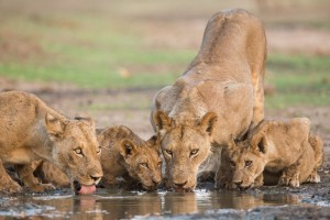 Lions drinking at the Mana Pools National Park