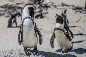 Members of the penguin colony at Boulders Beach