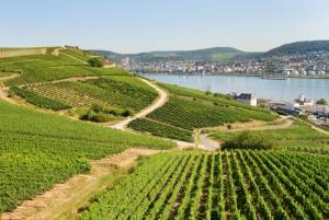 T vineyards of Rüdesheim along the Rhine River