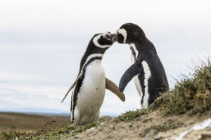 "Magellan penguins ""kissing"" at Tierra del Fuego"