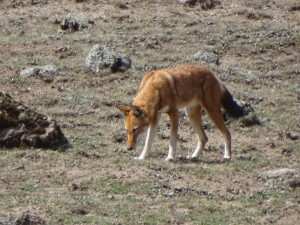 Ethiopian Wolf. Photo provided by Jane Behrend.