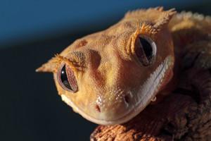 Portrait of a new Caledonian crested gecko (Rhacodactylus ciliatus)