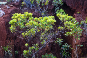Vegetation, endemic plant species, Mont-Dore, New Caledonia, South Pacific Ocean