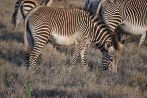 Grevy's Zebra at Lewa. Photo by Shannon Yogerst