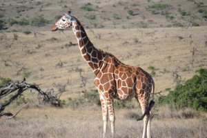 Reticulated Giraffe at Lewa. Photo by Shannon Yogerst