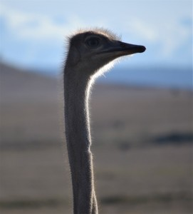 Somali Ostrich at Lewa. Photo by Shannon Yogerst