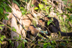 Costa Rica, Capuchin White Faced monkeys in Tortuguero National Park