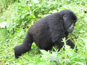 A gorilla in Bwindi Impenetrable Forest.  Photo by Jane Behrend