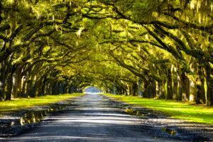 Oak trees forming canopy above road