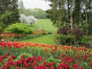 Tulip flowers in front of green field